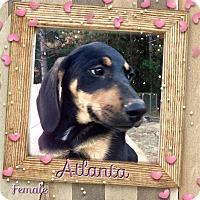Adopt A Pet :: Atlanta meet me 11/18 - Manchester, CT