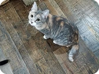 Domestic Shorthair Kitten for adoption in Edmond, Oklahoma - Garcia