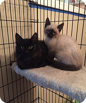 Domestic Longhair Kitten for adoption in Old Bridge, New Jersey - Liam