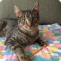Adopt A Pet :: Stripey (James) - Middleton, WI