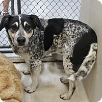 Adopt A Pet :: A17 Boom - Odessa, TX