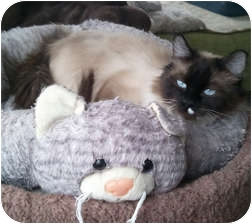 Siamese Cat for adoption in Anchorage, Alaska - Lisa Maree