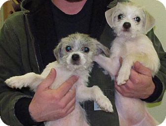 Shih Tzu/Terrier (Unknown Type, Small) Mix Puppy for adoption in Raleigh, North Carolina - Pebbles
