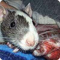 Adopt A Pet :: White with Grey Head - Lakewood, WA