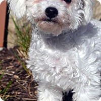 Adopt A Pet :: Richie-Adoption pending - Bridgeton, MO
