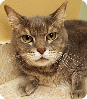 Domestic Shorthair Cat for adoption in Hinsdale, Illinois - ADOPTED!!!   Sebastian