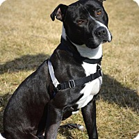 Pit Bull Terrier/Great Dane Mix Dog for adoption in Lombard, Illinois - Pork Chop