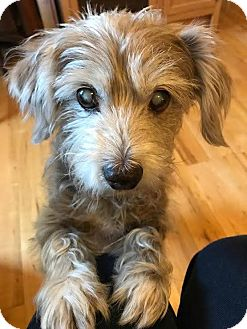 Schnauzer (Miniature)/Terrier (Unknown Type, Small) Mix Dog for adoption in Wilmington, Massachusetts - Russell:adoption pending