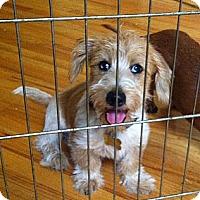 Adopt A Pet :: Blue - San Jose, CA