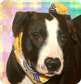 Pointer/American Staffordshire Terrier Mix Dog for adoption in Cincinnati, Ohio - Telly