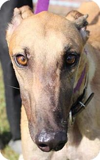 Greyhound Dog for adoption in Longwood, Florida - PJ In Due Time