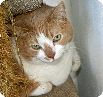 Domestic Shorthair Cat for adoption in Port Jervis, New York - Angus