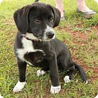 Adopt A Pet :: Ida - Salem, NH