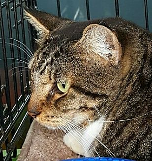 American Shorthair Cat for adoption in Lyons, Illinois - Maurice