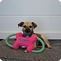Adopt A Pet :: Louise - Chandler, AZ