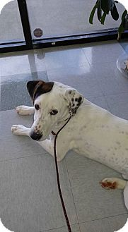 Beagle/Boxer Mix Dog for adoption in Garner, North Carolina - Isaiah