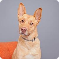 Adopt A Pet :: Mac - Mission Hills, CA