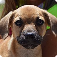 Adopt A Pet :: Gage - Springfield, MA