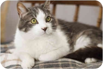 Domestic Shorthair Cat for adoption in Markham, Ontario - Minucho