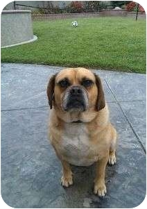 Pug/Beagle Mix Dog for adoption in Riverside, California - Boston