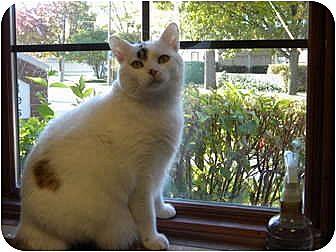 Calico Kitten for adoption in Bartlett, Illinois - Heidi