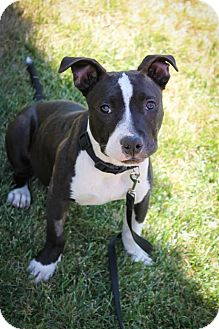 Pit Bull Terrier Puppy for adoption in Sacramento, California - Simon