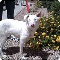 Adopt A Pet :: Paris - Mesa, AZ