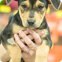 Adopt A Pet :: Cowboy - Gainesville, FL