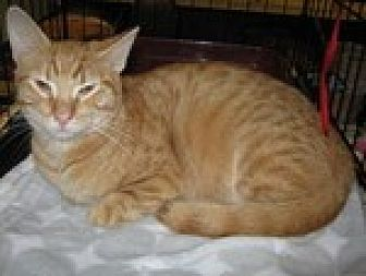 Domestic Shorthair Cat for adoption in Arlington, Texas - Teddie