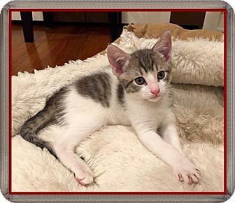 Domestic Shorthair Kitten for adoption in Mt. Prospect, Illinois - Roosevelt