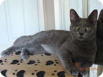 Domestic Shorthair Cat for adoption in Philadelphia, Pennsylvania - Clarice