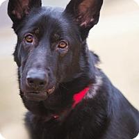 Adopt A Pet :: Bear *Miracle Dog* - Gretna, NE