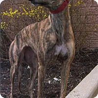 Greyhound Dog for adoption in Westville, Indiana - Tropicana
