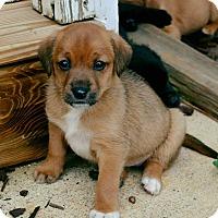 Adopt A Pet :: Cheeky Chocolate - Atlanta, GA