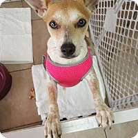 Adopt A Pet :: Bambi - Key Largo, FL