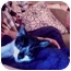 Photo 1 - Domestic Shorthair Kitten for adoption in New York, New York - Chewy