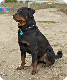 Rottweiler/Australian Cattle Dog Mix Dog for adoption in Huntington Beach, California - Blu