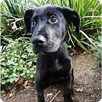 Adopt A Pet :: Dewey - Mission Viejo, CA