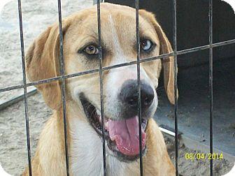 Australian Shepherd/Black Mouth Cur Mix Dog for adoption in Mexia, Texas - Trista