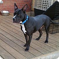 Adopt A Pet :: Beau - Nashville, TN
