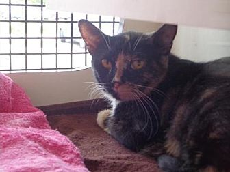 Domestic Shorthair Cat for adoption in Columbus, Ohio - Cassidy