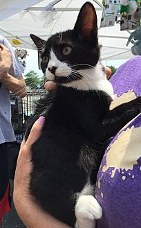 American Shorthair Kitten for adoption in Trenton, New Jersey - Louise