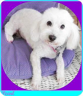 Maltese/Poodle (Miniature) Mix Dog for adoption in Seattle, Washington - PEARL