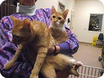 Domestic Shorthair Cat for adoption in Chambersburg, Pennsylvania - McDonald