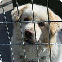 Adopt A Pet :: Piston - Walthill, NE