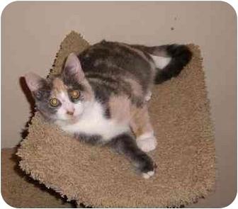 Calico Cat for adoption in Houston, Texas - Pandora