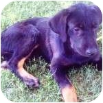 Labrador Retriever/Rottweiler Mix Puppy for adoption in Gilbert, Arizona - MINNIE