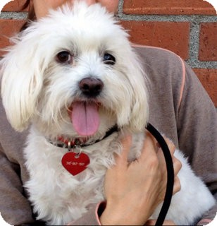 Maltese/Poodle (Miniature) Mix Dog for adoption in Los Angeles, California - Ringo *VIDEO*
