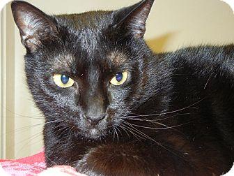 Domestic Shorthair Cat for adoption in Miami, Florida - Nia