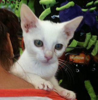 Burmese Cat for adoption in Cerritos, California - Kia